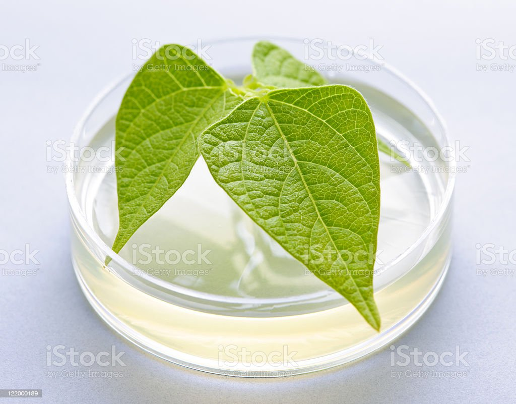 GM plant in petri dish royalty-free stock photo