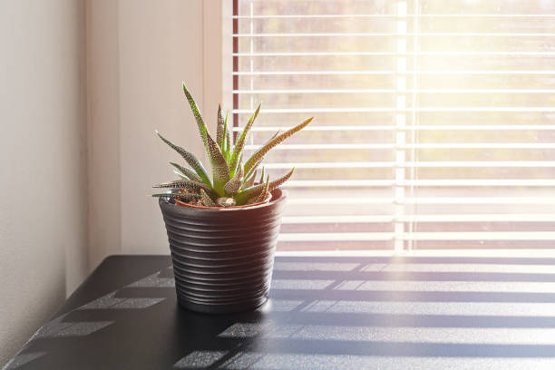 Plant in small pot on background of window with blinds stock photo