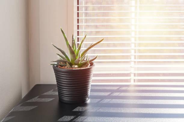 plant in small pot on background of window with blinds - com portada imagens e fotografias de stock