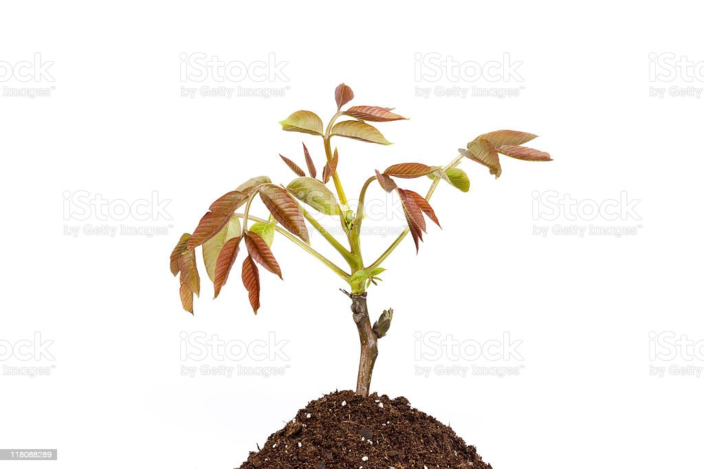 Plant in soil isolated stock photo