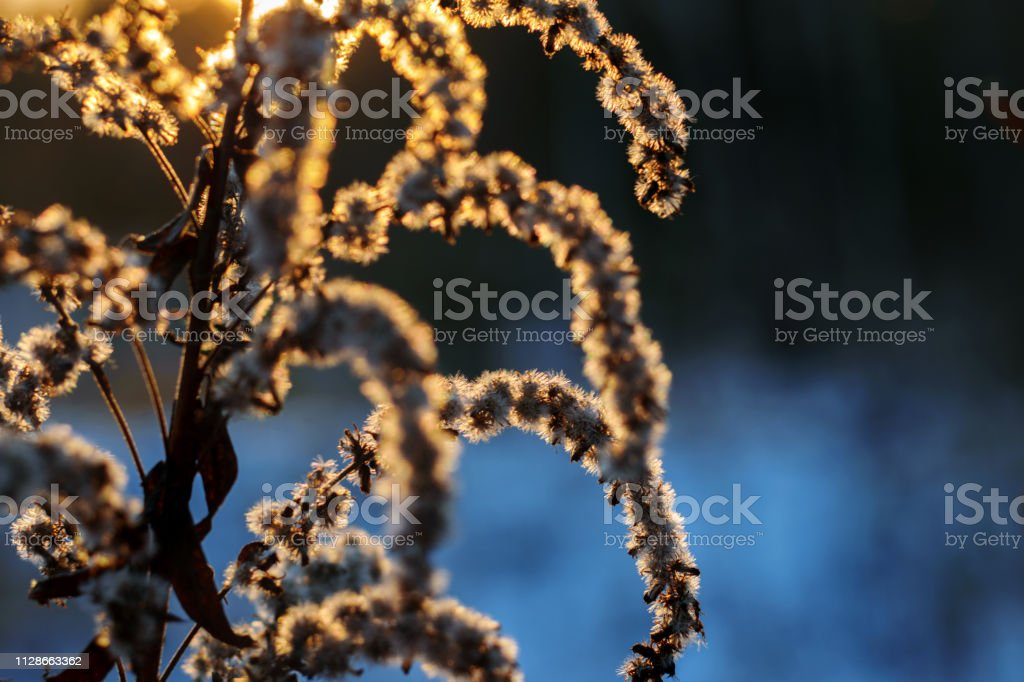 Plant in the sunset, winter contrasting background, orange and blue stock photo