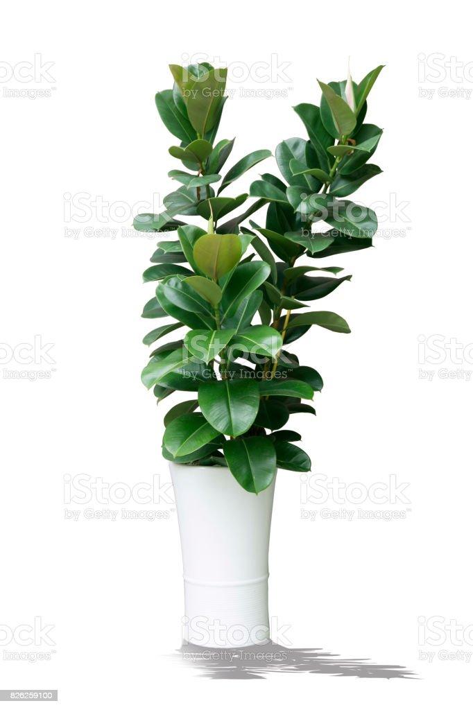 Pflanze im Topf isoliert – Foto