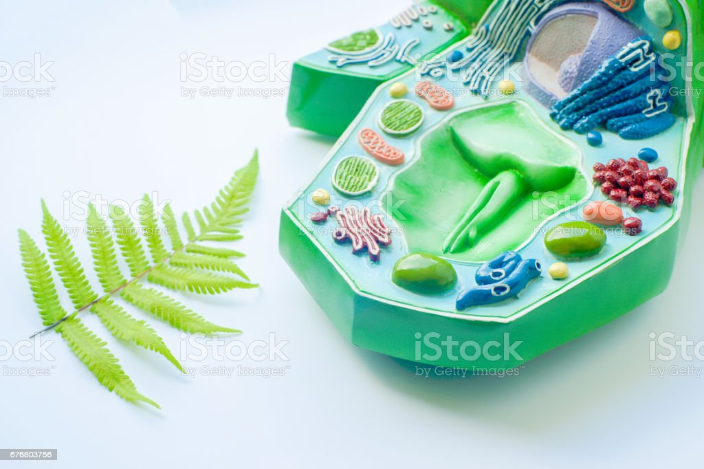 Plant leaf and model of plant cell in laboratory stock photo