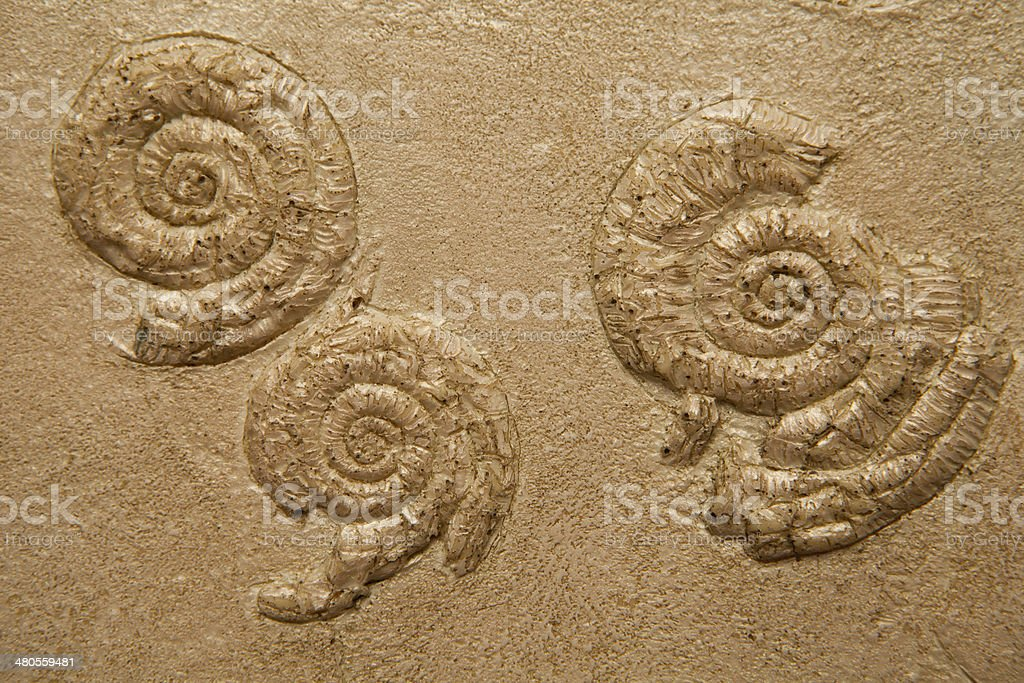 Plant Leaf fossil in stone, isolated on white stock photo