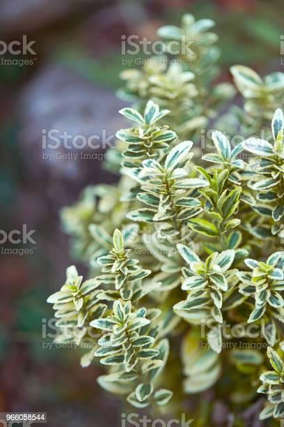 Plant Leaves - Fotografias de stock e mais imagens de Arbusto
