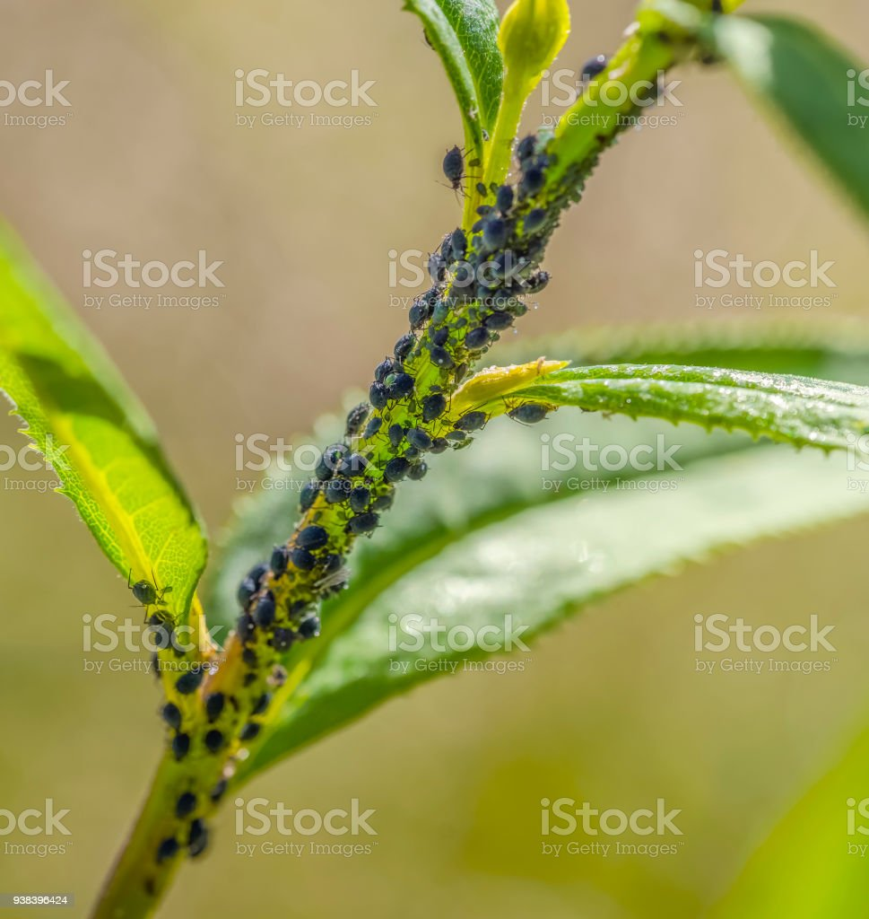 plant lice colony stock photo