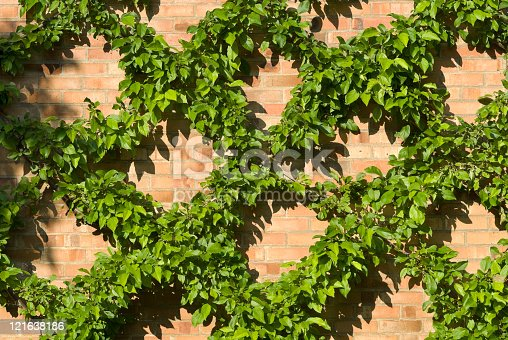 Plant living organism over the wall