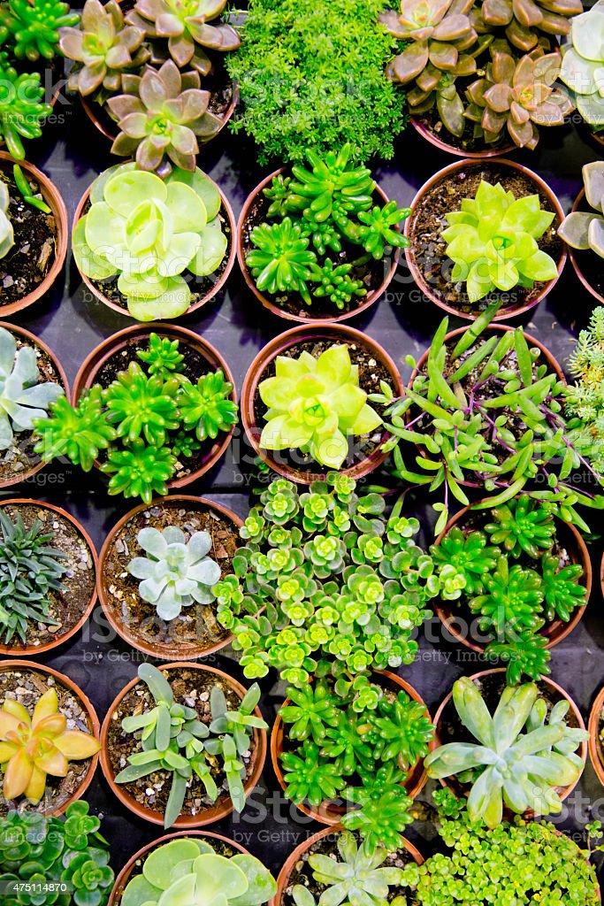 plant market, green bonsai stock photo