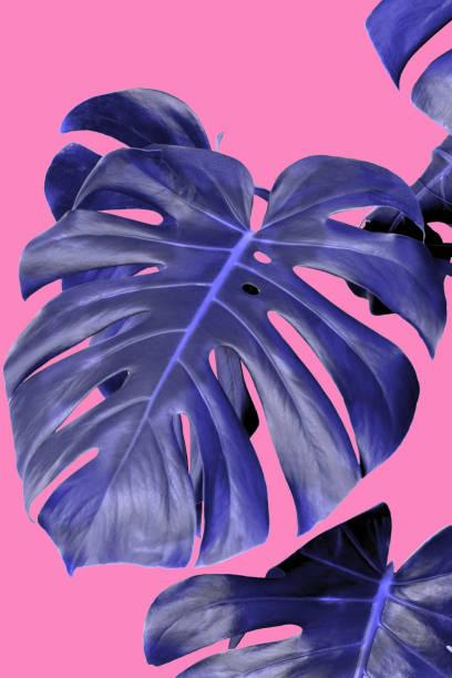 pflanze monstera blaue blätter rosa hintergrund - blumendrucktapete stock-fotos und bilder