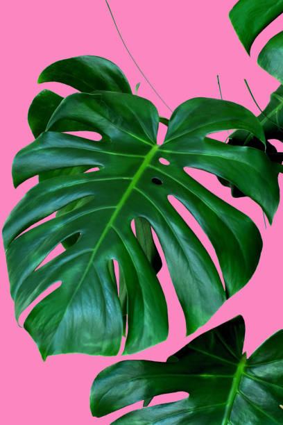 pflanze monstera lässt rosa hintergrund - blumendrucktapete stock-fotos und bilder