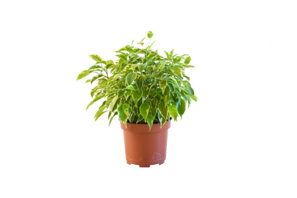 Plant, nature. Kamerplant Ficus Kinky plant  small size grow and blooming in pot on white bacground isolated and clipping path. Idea indoor plant decorated. Air purifying plants concept, Plant, nature. Kamerplant Ficus Kinky plant  small size grow and blooming in pot on white bacground isolated and clipping path. Idea indoor plant decorated. Air purifying plants concept, kamerplant stock pictures, royalty-free photos & images