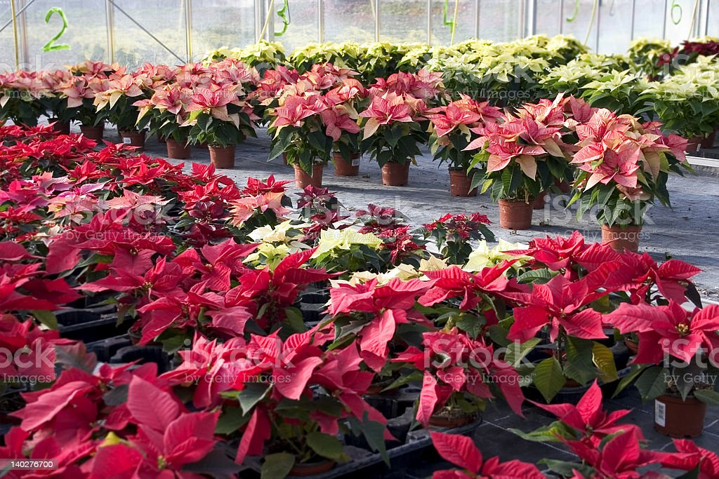 Plant nursery with poinsettia flowers royalty-free stock photo