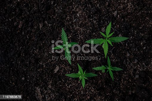 936410150 istock photo Plant of a little cannabis seedling in the ground at blurred background 1197883875