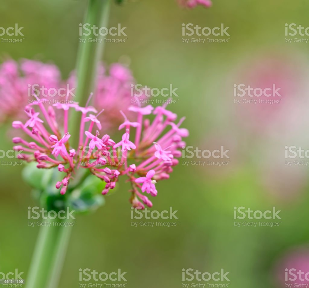 plant of centranthus stock photo