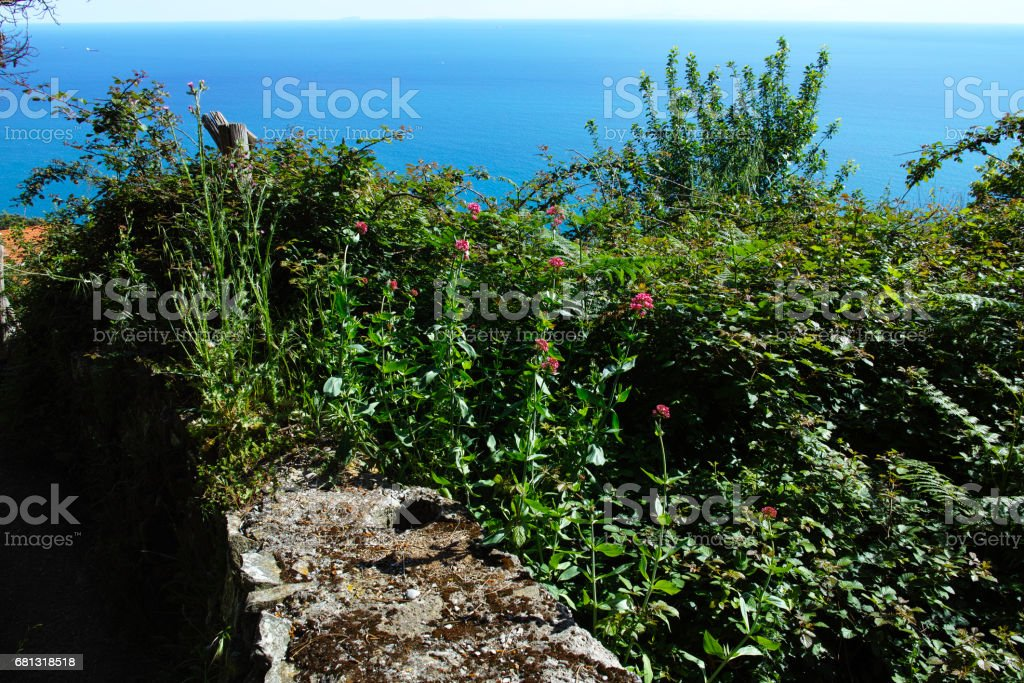 plant of centranthus royalty-free stock photo