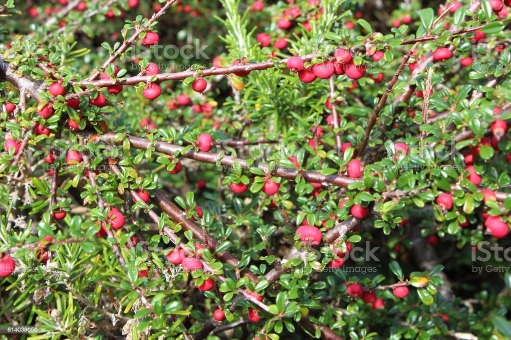 Plant of cotoneaster stock photo