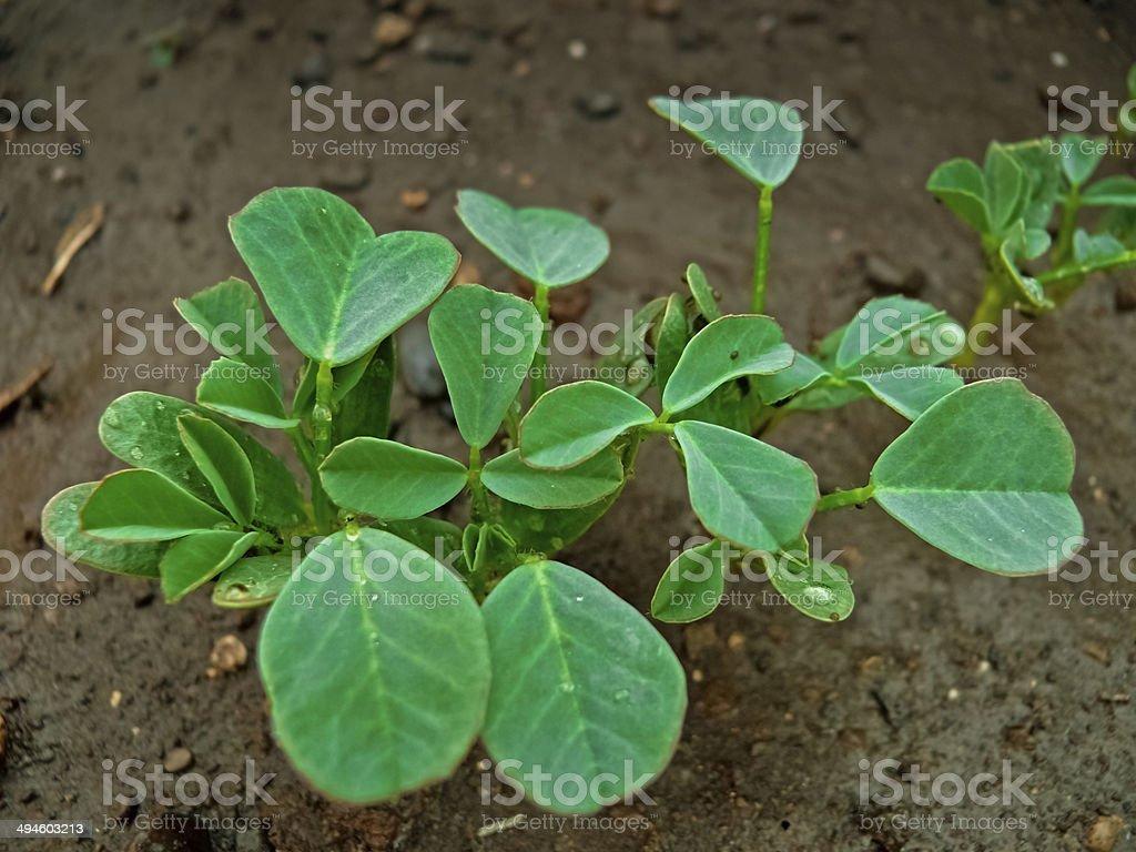 Plant of Fenugreek stock photo