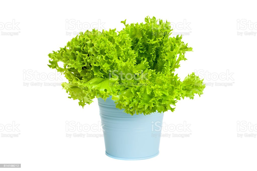 Plant of green curly salad in blue pot stock photo