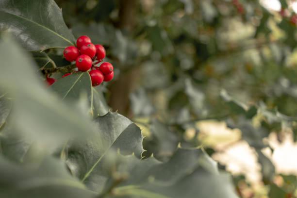 plant of mistetoe - monica pirozzi foto e immagini stock