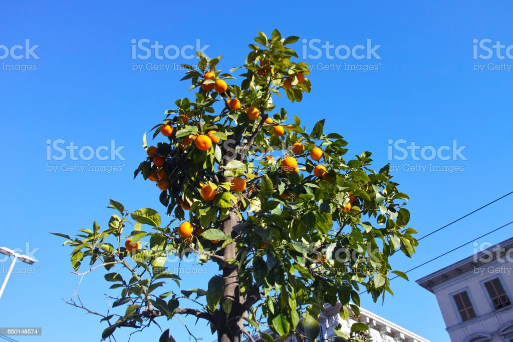 plant of orange in a garden