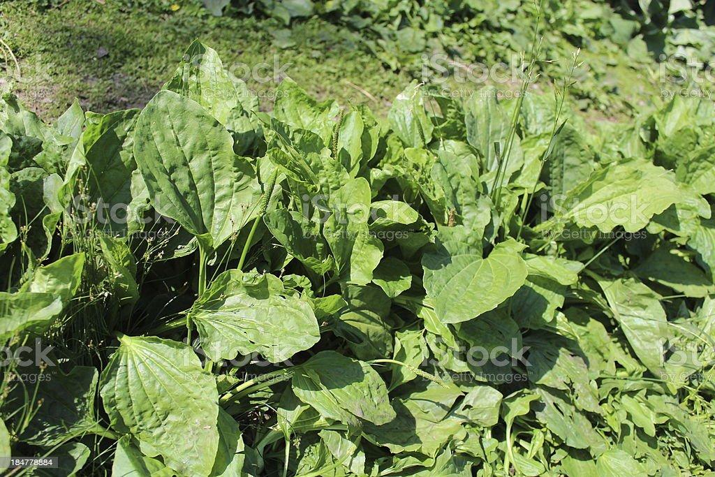 plant of ribwort royalty-free stock photo