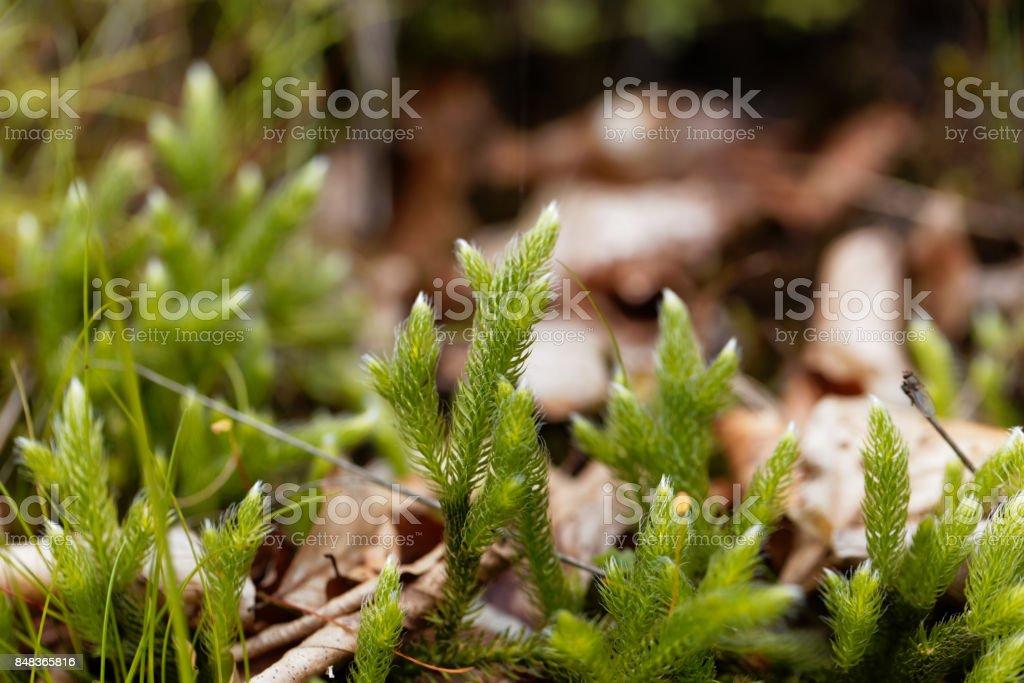 Plant of running clubmoss, Lycopodium clavatum stock photo