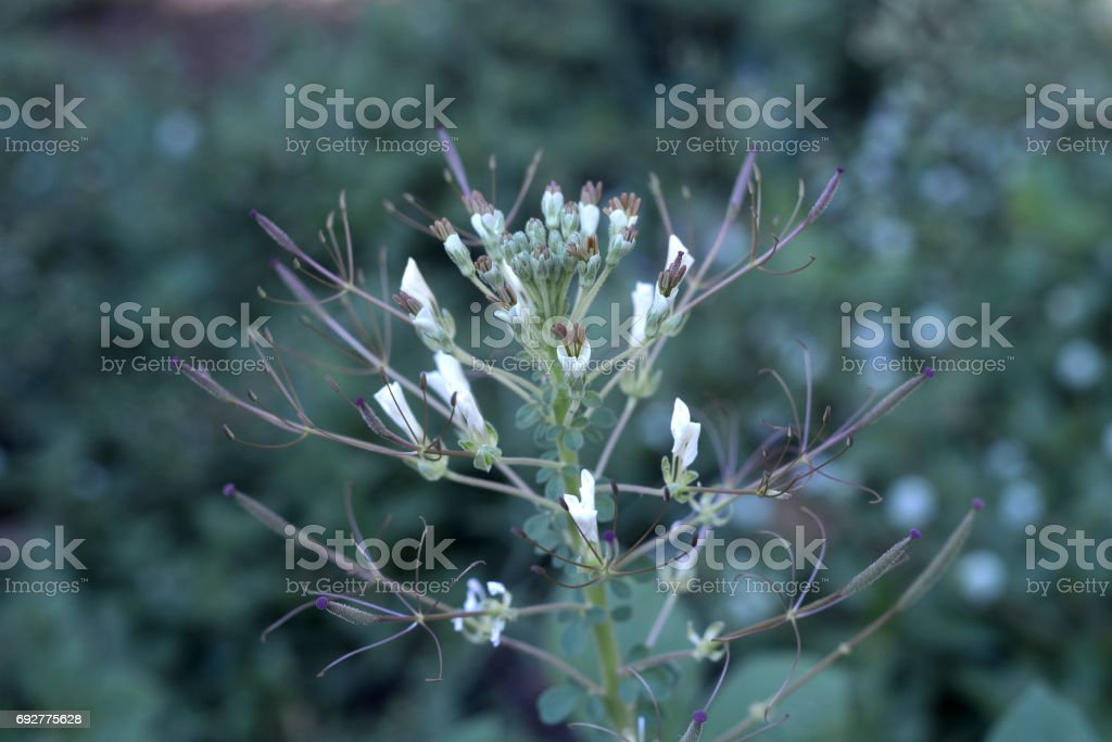 plant of the family Capparidaceae stock photo