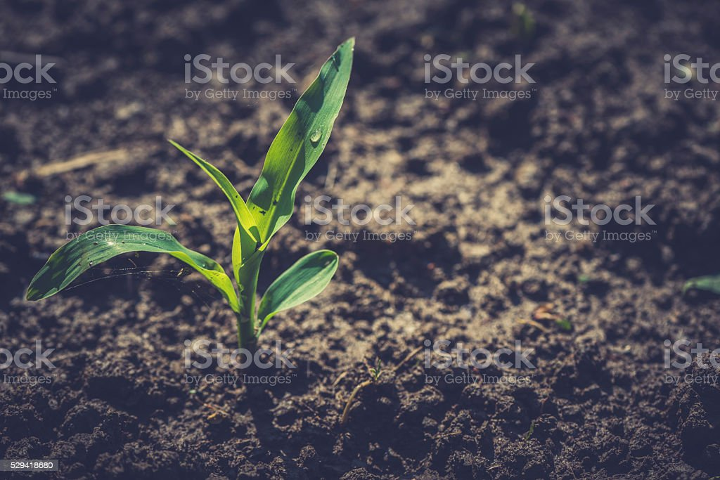 Plant of young corn stock photo