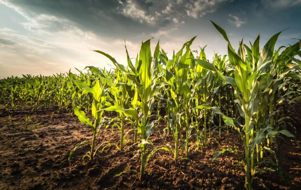 Werk der jungen grünen Mais im Feld am stürmischen Tag – Foto