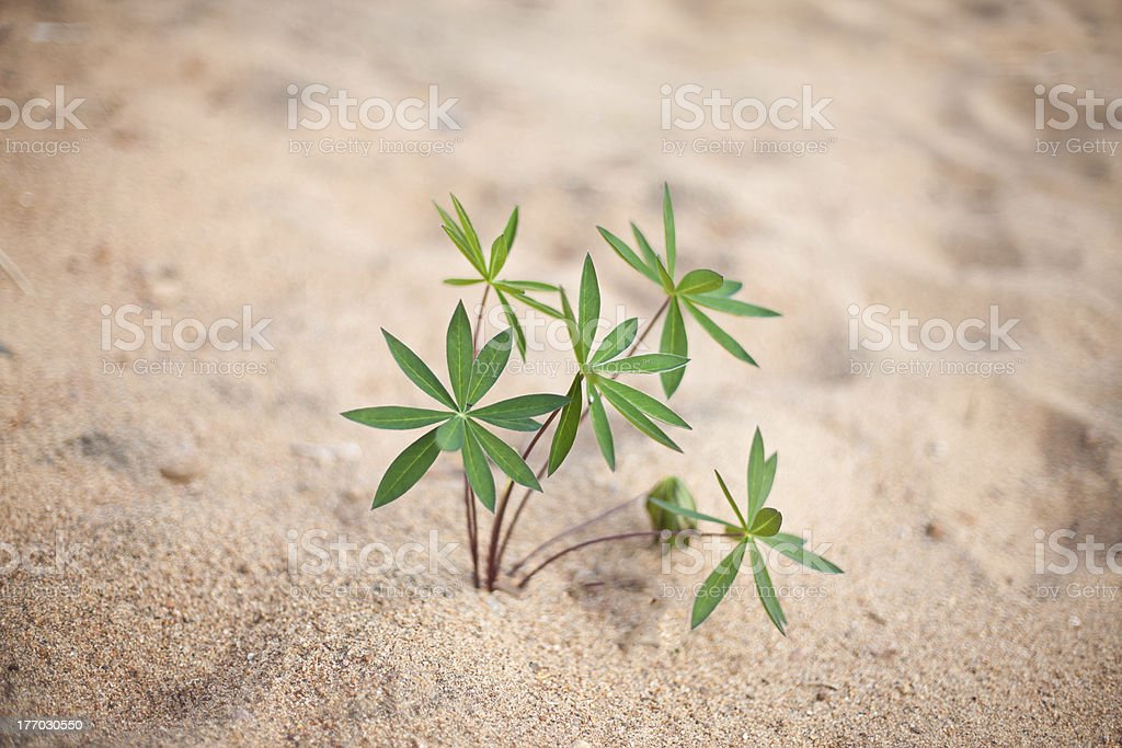Plant on the beach royalty-free stock photo