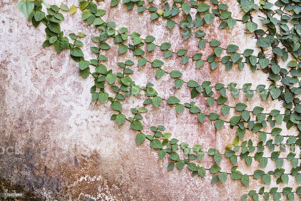 Plant on the old wall for background royalty-free stock photo