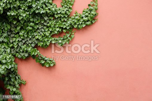 Plant on wall background texture with copy space