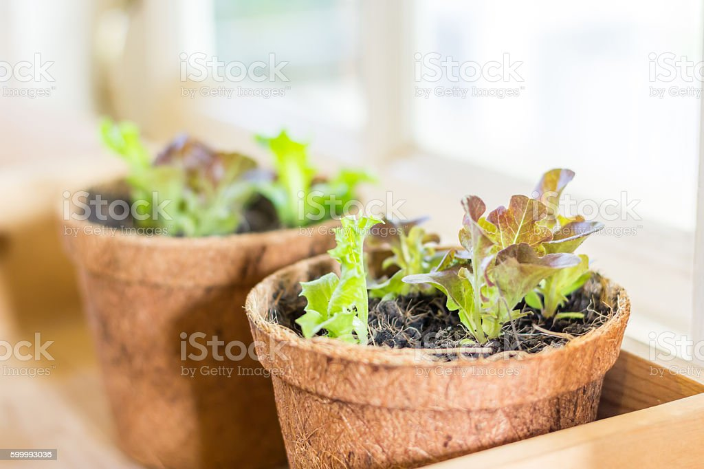 Plant pots with salad stock photo