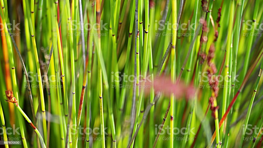 Plant restios Restionaceae rushes grasses nature green flowers fynbos foliage stock photo