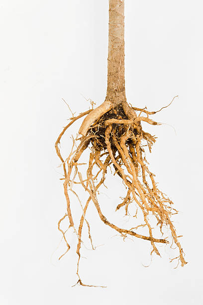 Plant Root Close up of a plant roots taken out of the soil. root hair stock pictures, royalty-free photos & images