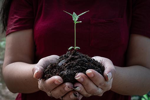 1082247550 istock photo Plant sapling cannabis growing with LED grow light 1206754101