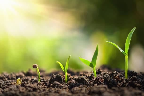植物の播種の成長ステップ。コンセプト農業 - 物理的特徴 ストックフォトと画像