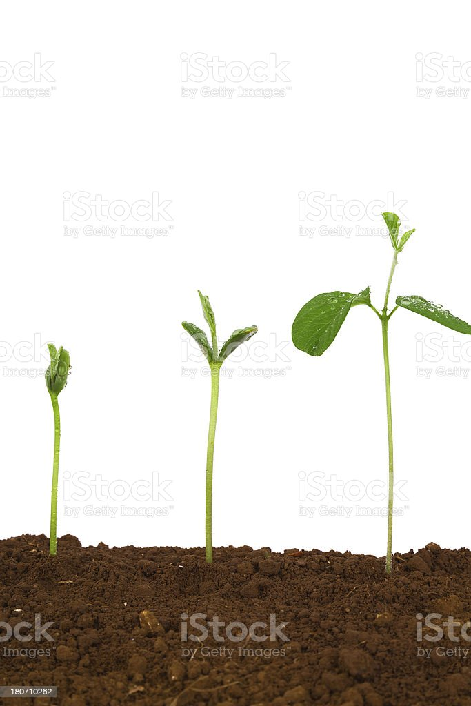 Plant Sequence in dirt:green bean isolate on white background stock photo