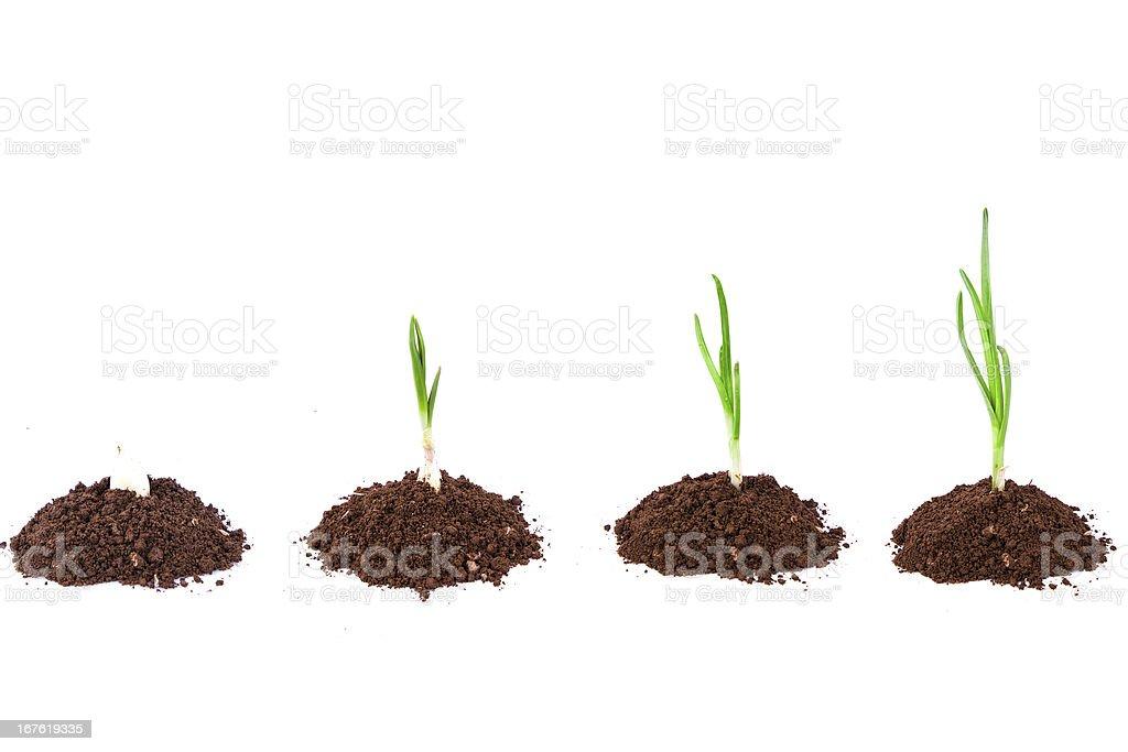 Plant séquence dans la terre :  vert ail isolé sur fond blanc - Photo