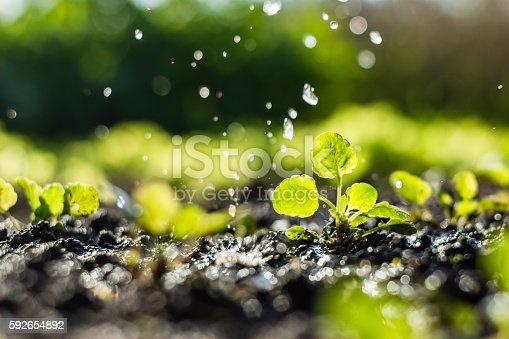 istock Plant sprouts in the field and farmer  is watering it 592654892