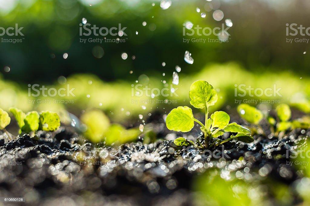 Pflanzensprossen auf dem Feld und Landwirt gießt es - Lizenzfrei Bewässerungsanlage Stock-Foto