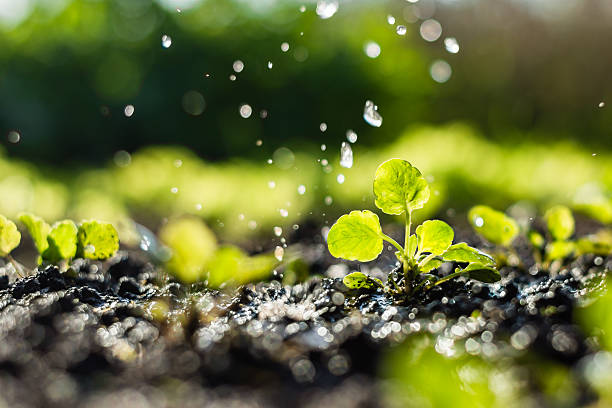 plant sprouts in the field and farmer  is watering it - regen zon stockfoto's en -beelden