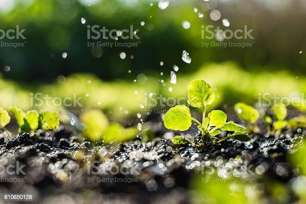 Pflanzensprossen Auf Dem Feld Und Landwirt Gießt Es Stockfoto und mehr Bilder von Bewässerungsanlage