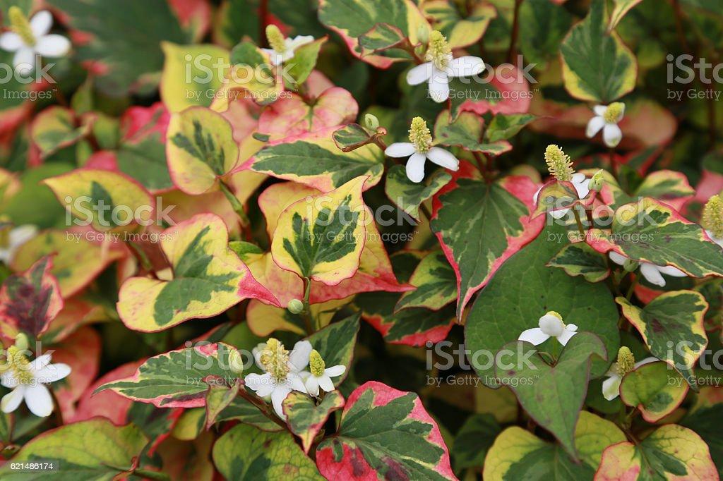 Plant stinking noxious weed chameleon Lizenzfreies stock-foto