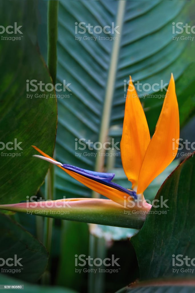 Plant Strelitzia with exotic orange flower - Bird of Paradise. Official flower of Los Angeles. stock photo