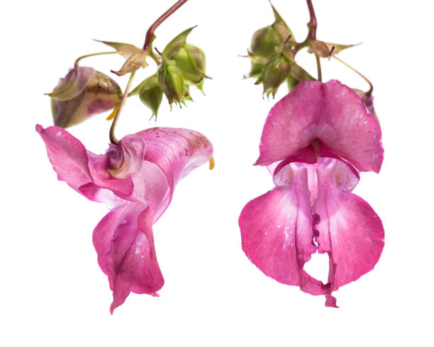 plant studies: Himalayan Balsam - Indian balsam (Impatiens glandulifera) Flower of the front and side stock photo