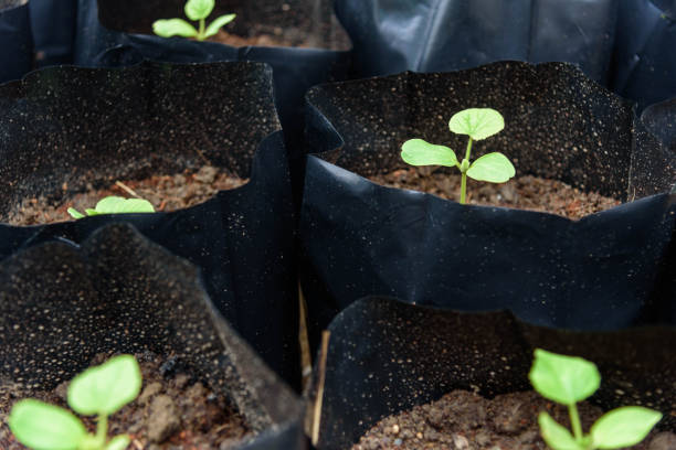 Plant The Sapling in Crop bags stock photo