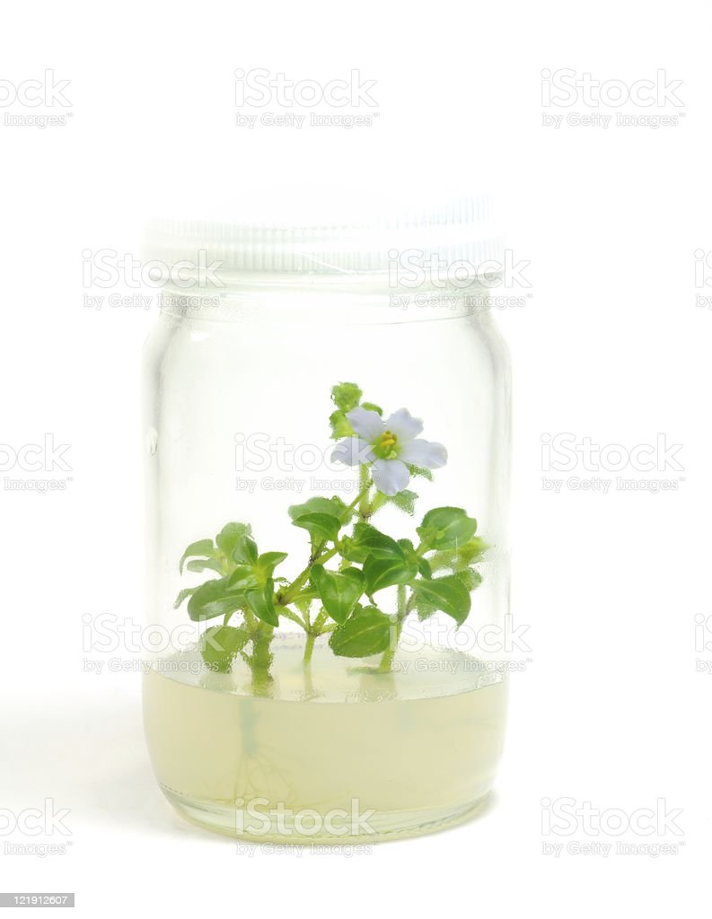 Plant Tissue Culture royalty-free stock photo