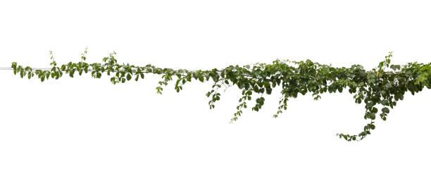 plantera tropiska bladverk vinstockar, ivy grön hänga isolerad på vit bakgrund, urklippsbana - slingerväxt bildbanksfoton och bilder