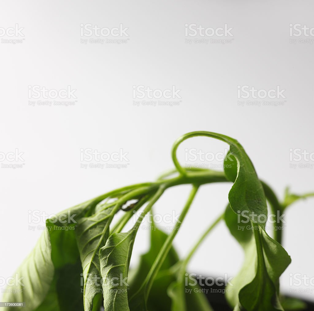 Plant Wilting royalty-free stock photo